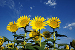 Free Stock Photo: Yellow sunflowers in a field with a blue sky background.