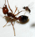 Free Stock Photo: A parasitic phorid fly attempts to lay an egg into a fire ant worker.  If the fly injects microsporidian-infected eggs into the ant, or the ant kills and eats the fly, the fire ant will become infected and die.