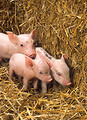 Free Stock Photo: Three piglets by a bale of straw.