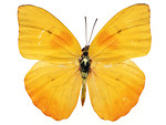Free Stock Photo: A yellow butterfly isolated on a white background.
