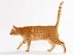 Free Stock Photo: An orange cat isolated on a white background.