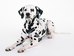 Free Stock Photo: A dalmatian isolated on a white background.