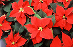 Free Stock Photo: Red poinsettia flowers.