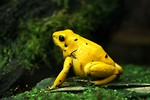Free Stock Photo: Close-up of a yellow frog.