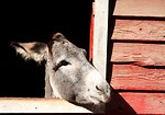 Free Stock Photo: A donkey sticking its head through a barn window.