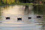 Free Stock Photo: Four hippopotamuses in the water.