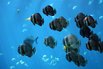 Free Stock Photo: Schools of tropical fish swimming under water.