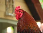 Free Stock Photo: Closeup portrait of a rooster.