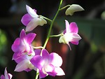 Free Stock Photo: Closeup of pink orchids.