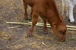 Free Stock Photo: A small brown calf.