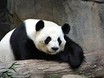 Free Stock Photo: A panda resting on a log.