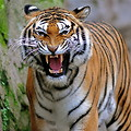 Free Stock Photo: Close-up of a tiger growling.