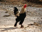 Free Stock Photo: A rooster walking