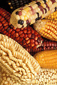 Free Stock Photo: Close-up of various colored and shaped ears of corn