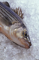 Free Stock Photo: A hybrid striped bass on ice