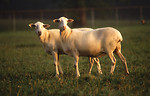 Free Stock Photo: A pair of St. Croix hair sheep standing in a field.