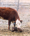 Free Stock Photo: A beef cow attending to her newborn calf