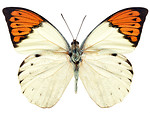Free Stock Photo: An orange and white butterfly isolated on a white background