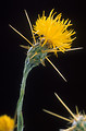 Free Stock Photo: Close-up of yellow starthistle (Centaurea solstitialis)