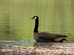 Free Stock Photo: A Canadian goose on the shore of a lake