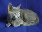 Free Stock Photo: A Russian Blue kitten on a blue background