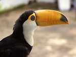 Free Stock Photo: Close-up of a toucan bird.