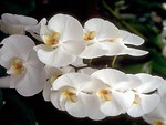Free Stock Photo: Close-up of white orchids