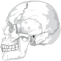 Free Stock Photo: Illustration of a human skull