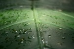 Free Stock Photo: Close-up of a large dark green tropical leaf with water drops.