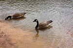Free Stock Photo: Canadian geese swimming on a lake