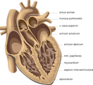 Free Stock Photo: Medical illustration of a human heart.
