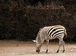 Free Stock Photo: Zebra sepia tone