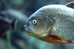 Free Stock Photo: Close-up of a piranha