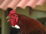 Free Stock Photo: Closeup of rooster crowing