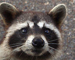 Free Stock Photo: Close-up view of a Raccoon
