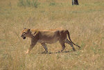 Free Stock Photo: An African lion walking in the grass