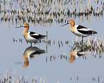 Free Stock Photo: Two American Avocets