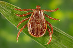 Free Stock Photo: This photograph depicts a dorsal view of a male Rocky Mountain wood tick, Dermacentor andersoni. This tick specie is a known North American vector of Rickettsia rickettsii, which is the etiologic agent of Rocky Mountain spotted fever.