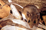 Free Stock Photo: Close-up of a deer mouse