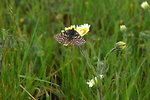 Free Stock Photo: An endangered Bay Checkerspot butterfly rests on a yellow flower.