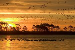 Free Stock Photo: A mixed flock of waterfowl flying in the sunset