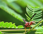 Free Stock Photo: Close-up of a red wasp on a leaf