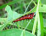 Free Stock Photo: Close-up of a red caterpillar on a leaf