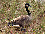 Free Stock Photo: A Canada goose in tall grass