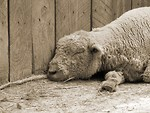 Free Stock Photo: Black and white sheep sleeping against fence