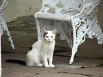 Free Stock Photo: White and black cat sitting by outside chair