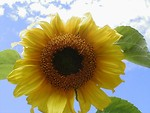 Free Stock Photo: Closeup of a yellow sunflower in a blue sky.