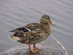 Free Stock Photo: A small brown wild duck sitting on a rock by a pond