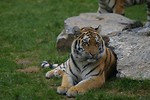 Free Stock Photo: Siberian tiger next to a rock