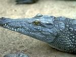 Free Stock Photo: Close-up of a crocodile.